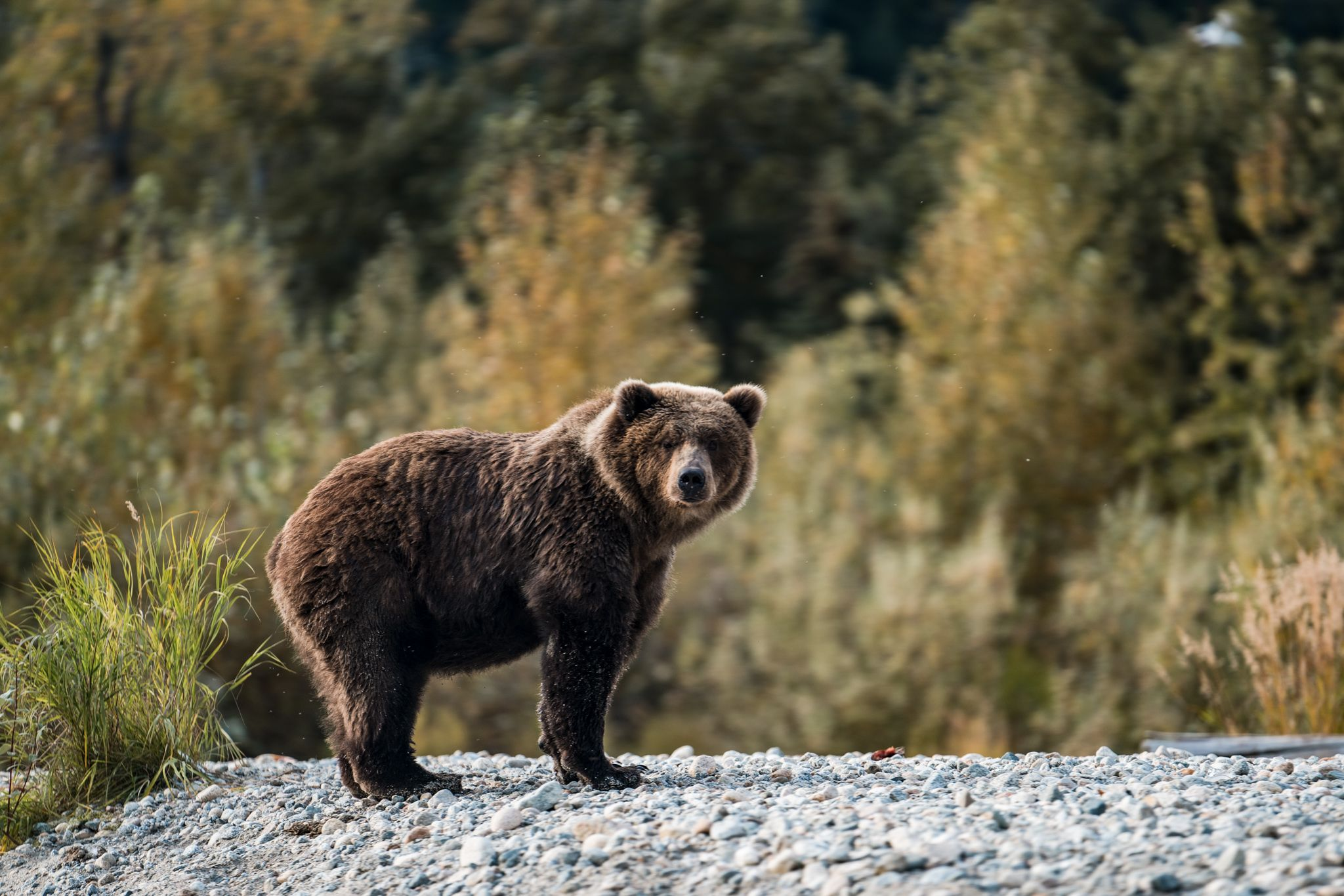 wildlife bear on the side of a river in alaska